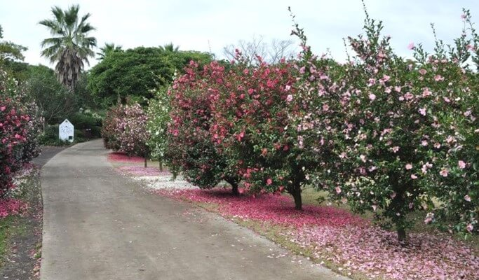 Camellia Hill Jeju Discount Ticket