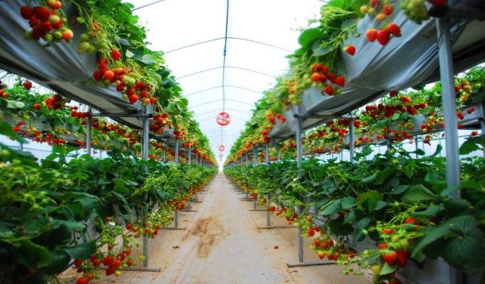 Seoul Vicinity: Nami Island + Strawberry Picking